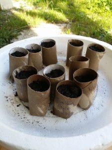 semis dans du papier wc