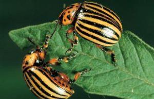 Insectes du potager nuisibles - astucesenligne.fr